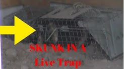 How to kill a skunk in a live trap without spraying