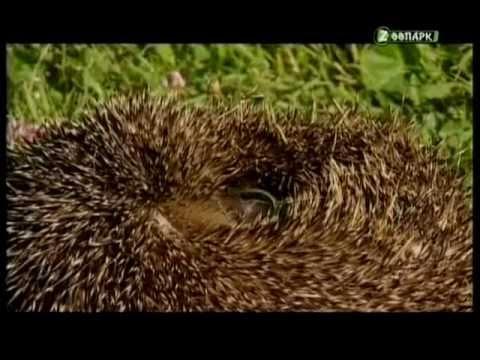 Садовый воин. Тайная жизнь европейского ежа - Познавательные и прикольные видеоролики
