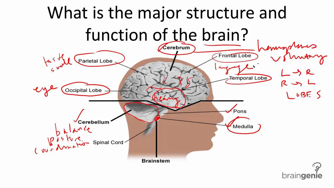 8 1 1 Brain Structure And Function Youtube