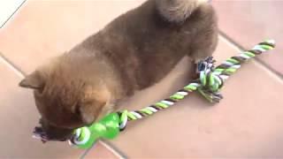 子犬のあきこちゃんの好きな遊び thumbnail