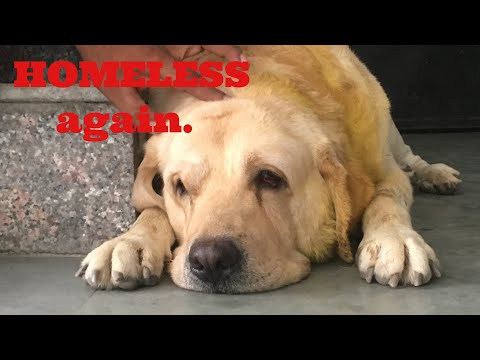 LABRADOR HOMELESS AGAIN! |HEARTBREAKING | Wildly Indian