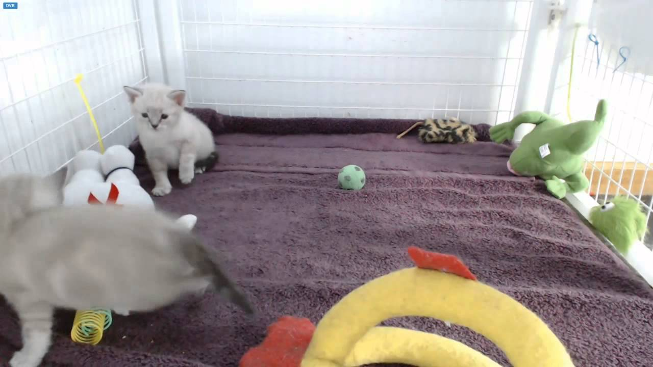 ghostbusters kittens rolling staypuft youtube