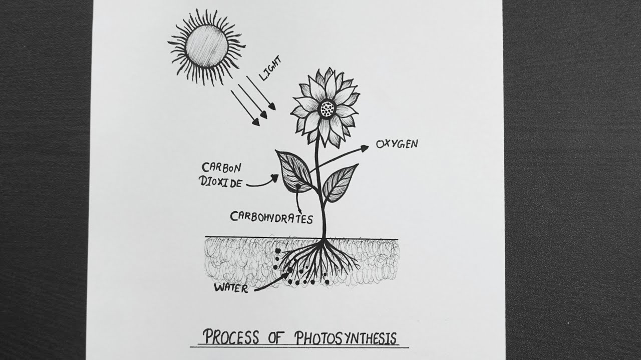 Process of Photosynthesis Diagram || Diagram of ...