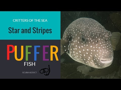 EPIC Star And Stripe Puffer Fish