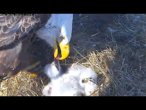 MNBound Eagles ~ Spirit & Scout, 4th Feeding Today ~ 04/13/15