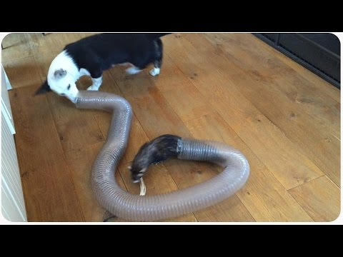 Welsh Corgi Puppy Plays With Ferrets