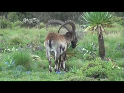 Walia Ibex - Ethiopian Capricorn
