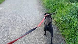 DOG BREEDS WITH NATURAL BODY ARMOR? HUNGARIAN DREADLOCK SHEPHERDS KOMONDOR AND PULI. GENETICS DOGS