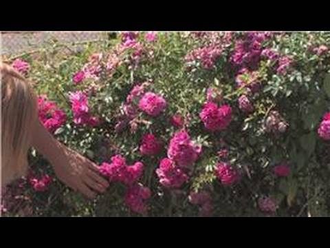 Rose Gardening How To Cut Roses Off The Bush Youtube
