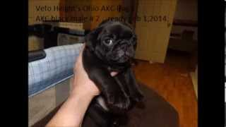Veto Height's Ohio Akc Pug Puppies Available Feb 1,2014
