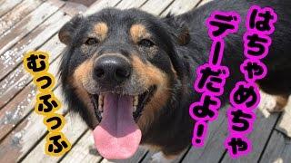 【かわいい犬動画】犬! 夏! 楽し!イェーイ!! [cute dog videos] □□...