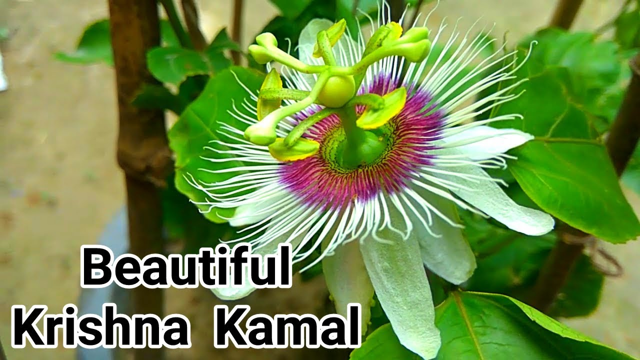 How To Grow Krishna Kamal Passion Flower In Hindi Urdu Youtube