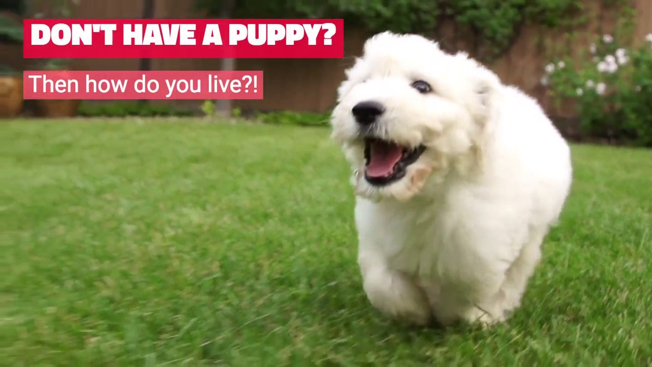 Puppies For Sale In San Diego Broadway Puppies Youtube
