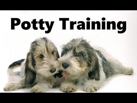 How To Potty Train A Petit Basset Griffon Vendeen Puppy - Grand Basset Griffon Vendeen Puppies