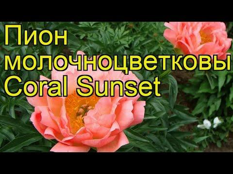 Пион молочноцветковый Корал Сансет. Краткий обзор, описание paeonia lactiflora Coral Sunset