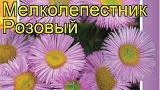 Мелколепестник Розовый. Краткий обзор, описание характеристик erigeron speciosus Rozovyy