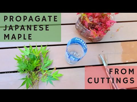 Propagate Japanese Maples From Cuttings (Best To Do In Late Spring/early Summer)