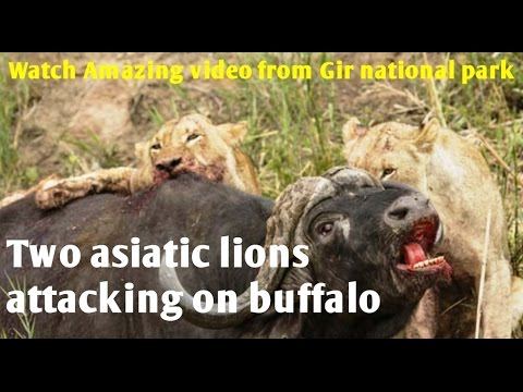 Two asiatic lions attacking on buffalo | Watch Amazing video from Gir national park, Sasan gir.