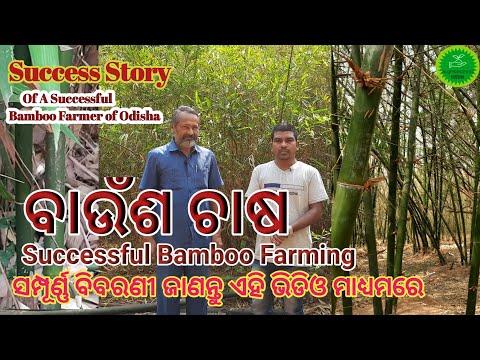 ବାଉଁଶ ଚାଷର ସମ୍ପୂର୍ଣ୍ଣ ବିବରଣୀ  Bamboo Farming Odisha//Successful Bamboo Farmer
