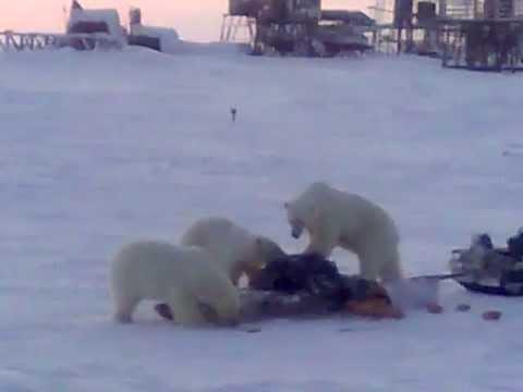 подобрать качественный сабетта фото встреча с медведем возмутила его неприкосновенность