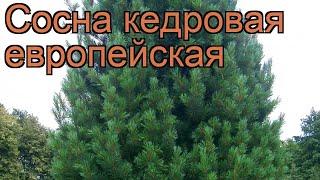 Сосна кедровая Европейская (pinus cembra) ???? Европейская обзор: как сажать, саженцы сосны Европейская