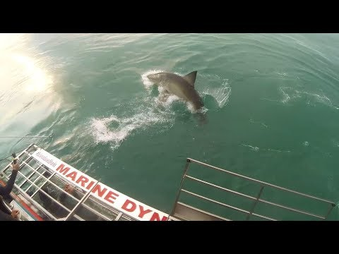 Diving for great white sharks in Gansbaai South Africa. With Marine Dynamics
