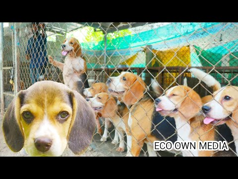 Cute beagle's farm thrissur   സുന്ദരികൾ ആയ ബീഗിൾ നായകൾ