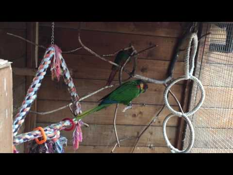 29.06.2017 my new birds: blue-throated conure (pyrrhura cruentata) boys :)