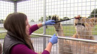 VIP Lion Cage Feed @ West Midland Safari Park