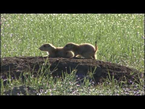 Cute & Playful Prairie Dogs