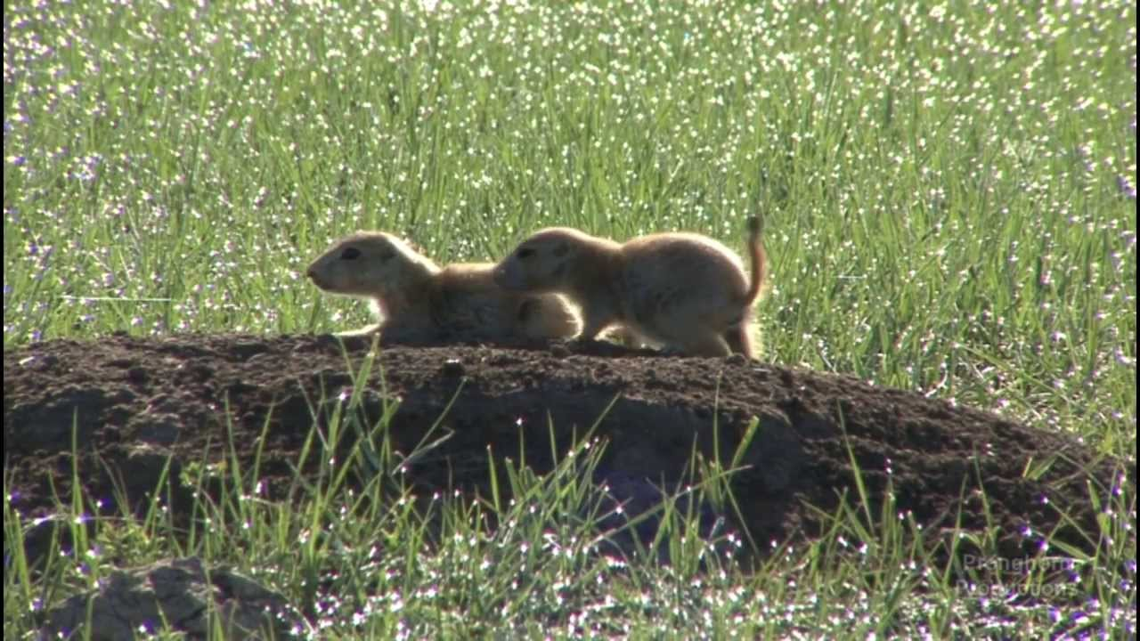 Cute Playful Prairie Dogs