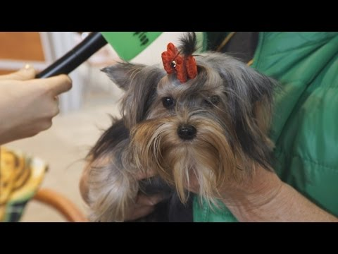 Йоркширский терьер – самая милая собачка-компаньон