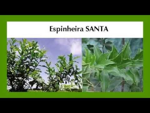 ✅ Chá de espinheira santa – Benefícios e propriedades