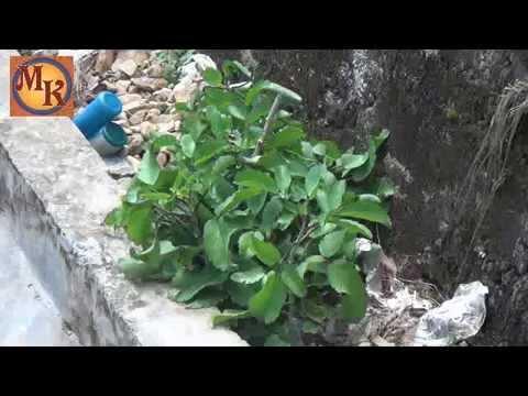 tanaman hias cocor bebek - Bryophyllum pinnatum