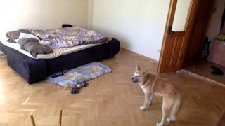 Щенок Акита ину снова один дома - Puppy Akita inu one at home