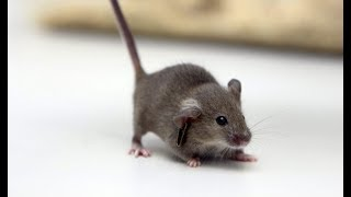 """Science News - Japanese government approves research into """"Human-Animal Hybrids"""""""