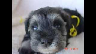 Miniature Schnauzer Puppy Salt & Pepper Boy