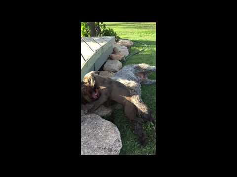 American Staffordshire Bull Terrier v's German Wirehair pointer