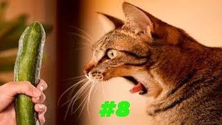Смешные коты и котики, приколы про котов до слез - Смешные кошки #8