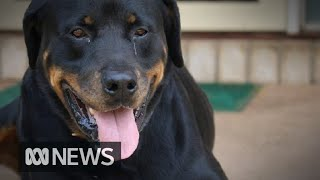 Dog's cancerous tumours 'disappear' after clinical trial | ABC News