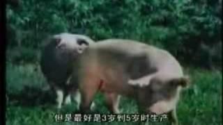 Repeat youtube video 驴猪象交配2