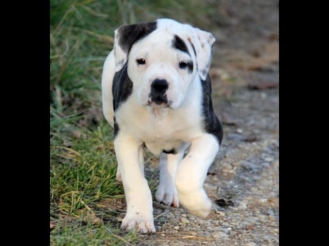 Pitbull Terrier, Puppies, Dogs, For Sale, In Memphis, Tennessee, TN, 19Breeders, Chattanooga