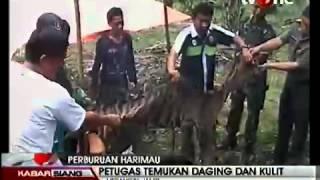 Video Harimau Sumatera Jadi Santapan Suku Anak Dalam Jambi download MP3, 3GP, MP4, WEBM, AVI, FLV Mei 2018