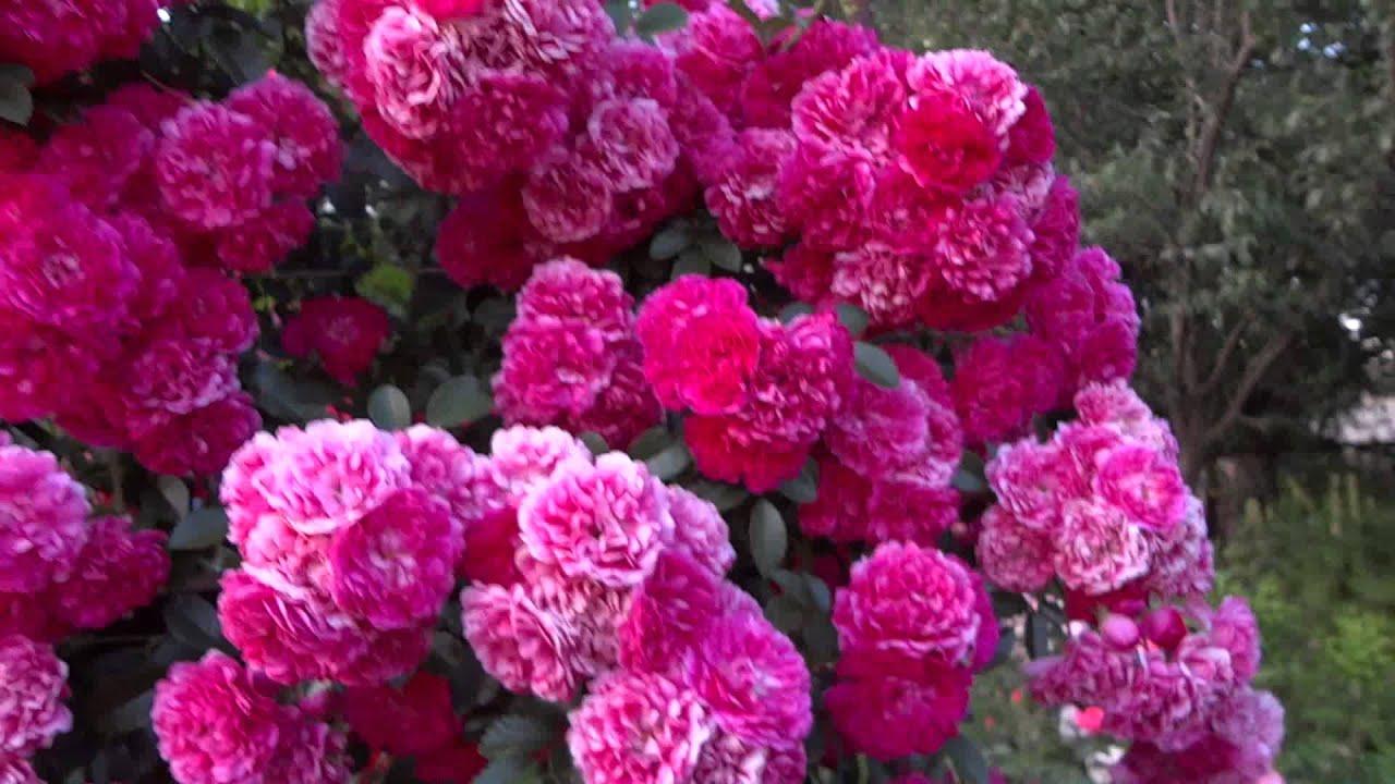 роза супер эксцельза фото и описание
