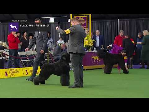 Black Russian Terriers | Breed Judging 2019