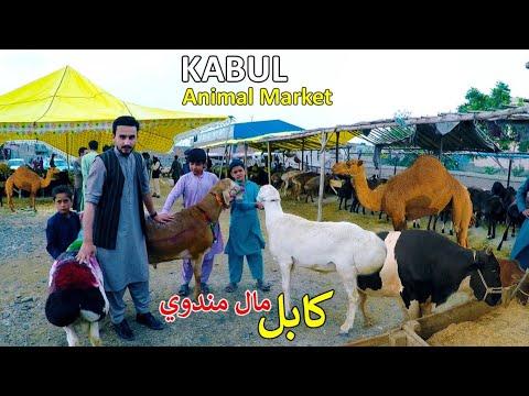 Eid Animal Market | Kabul Afghanistan | کابل کې د اختر مال منډوي