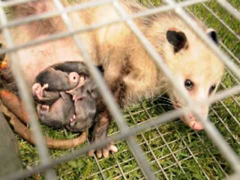 A Miracle of Life~Possum Babies