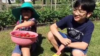 Organic Backyard Garden Strawberry Picking (p2): Grow Your Own Reap What You Sow By Aiman & Hizami