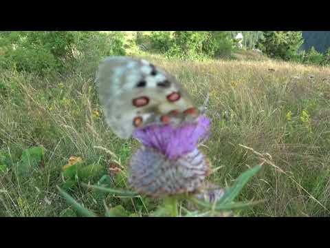 Apollofalter (Parnassius apollo)( Apollo butterfly) 1080p