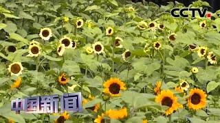 [中国新闻] 广东珠海:向日葵花海盛开 吸引众多游客   CCTV中文国际